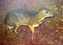 chevrotain. Source : http://data.abuledu.org/URI/504f3f7a-chevrotain