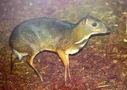 chevrotain. Source : http://data.abuledu.org/URI/504f3f7a-chevrotain