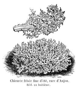Chicorée frisée d'Anjou. Source : http://data.abuledu.org/URI/5462070a-chicoree-frisee-d-anjou