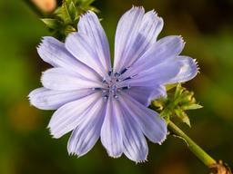 Chicorée sauvage en fleur. Source : http://data.abuledu.org/URI/54dbb7ed-chicoree-sauvage-en-fleur