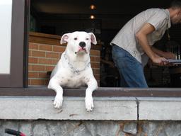 Chien à la fenêtre d'un café. Source : http://data.abuledu.org/URI/53cc2e9c-chien-a-la-fenetre-d-un-cafe