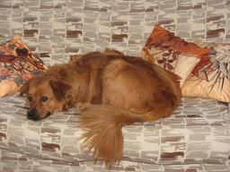 Chien allongé sur un canapé. Source : http://data.abuledu.org/URI/53346679-chien-allonge-sur-un-canape