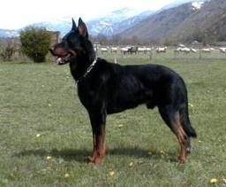 Chien berger de Beauce. Source : http://data.abuledu.org/URI/5160c46c-chien-berger-de-beauce