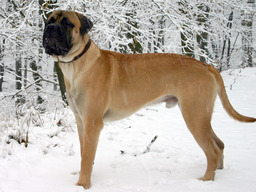 Chien bullmastiff. Source : http://data.abuledu.org/URI/501f8981-chien