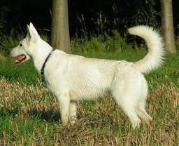 Chien de berger blanc suisse. Source : http://data.abuledu.org/URI/5160cc17-chien-de-berger-blanc-suisse