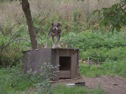 Chien enchaîné à sa niche. Source : http://data.abuledu.org/URI/53961dc0-chien-enchaine-a-sa-niche