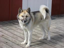 Chien Groenlandais. Source : http://data.abuledu.org/URI/5318bf05-chien-groenlandais