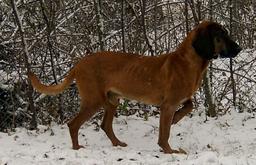 Chien rouge de Bavière. Source : http://data.abuledu.org/URI/5160bf3e-chien-rouge-de-baviere