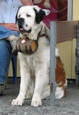 Chien Saint-Bernard avec son tonnelet. Source : http://data.abuledu.org/URI/53980af7-chien-saint-bernard-avec-son-tonnelet