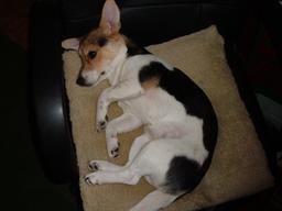 Chienne terrier allongée sur un coussin. Source : http://data.abuledu.org/URI/5334652f-chienne-terrier-allongee-sur-un-coussin