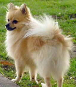 Chihuahua. Source : http://data.abuledu.org/URI/5169bfc3-chihuahua