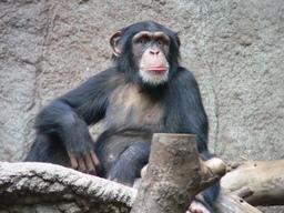 Chimpanzé dans un zoo. Source : http://data.abuledu.org/URI/502ebfe1-chimpanze-dans-un-zoo