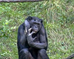 Chimpanzé nain. Source : http://data.abuledu.org/URI/502ec37c-chimpanze-nain