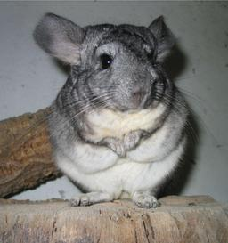Chinchilla. Source : http://data.abuledu.org/URI/50a21547-chinchilla
