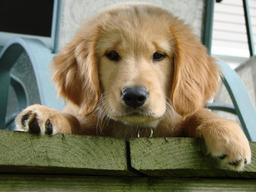 Chiot Golden Retriever. Source : http://data.abuledu.org/URI/50198e4a-bebe-golden-retriever