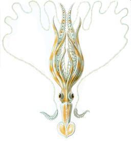 Calmar Chiroteuthis veranyi. Source : http://data.abuledu.org/URI/52cd9f65-chiroteuthis-veranyi