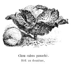 Chou cabus panaché. Source : http://data.abuledu.org/URI/5462298c-chou-cabus-panache