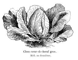 Chou cœur-de-bœuf gros. Source : http://data.abuledu.org/URI/54622c22-chou-coeur-de-boeuf-gros