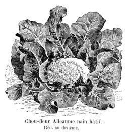 Chou-fleur Alleaume nain hâtif Vilmorin-Andrieux 1904. Source : http://data.abuledu.org/URI/546d245d-chou-fleur-alleaume-nain-hatif-vilmorin-andrieux-1904