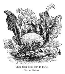 Chou-fleur demi-dur de Paris. Source : http://data.abuledu.org/URI/546d251f-chou-fleur-demi-dur-de-paris