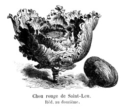 Chou rouge de Saint-Leu. Source : http://data.abuledu.org/URI/546d2381-chou-rouge-de-saint-leu
