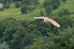 Chouette effraie en vol dans les Pyrénées. Source : http://data.abuledu.org/URI/54a72b9e-chouette-effraie-en-vol-dans-les-pyrenees