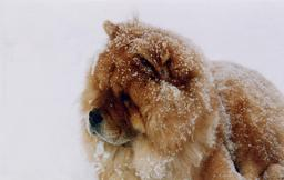 Chow-chow sous la neige. Source : http://data.abuledu.org/URI/516a3d46-chow-chow-sous-la-neige