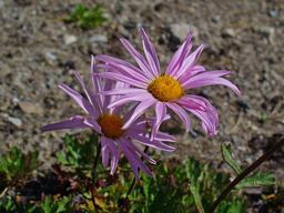 Chrysanthèmes nains. Source : http://data.abuledu.org/URI/54b00ebf-chrysanthemes-nains