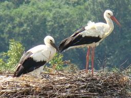 Cigogne blanche. Source : http://data.abuledu.org/URI/47f3861c-cigogne-blanche