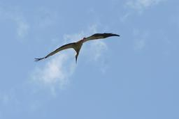 Cigogne blanche en vol. Source : http://data.abuledu.org/URI/5303445d-cigogne-blanche-en-vol