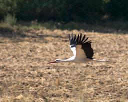 Cigogne blanche en vol. Source : http://data.abuledu.org/URI/53034e68-cigogne-blanche-en-vol