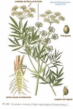 Cigüe vénéneuse. Source : http://data.abuledu.org/URI/50502e53-cigue-veneneuse