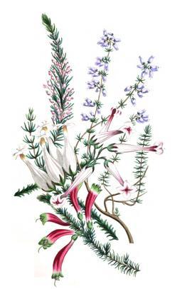 Cinq espèces de bruyères en 1836. Source : http://data.abuledu.org/URI/53ed3fb1-cinq-especes-de-bruyeres-en-1836