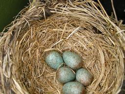 Cinq oeufs de grive litorne dans un nid. Source : http://data.abuledu.org/URI/5172a401-cinq-oeufs-de-grive-litorne-dans-un-nid