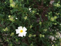 Ciste de Montpellier en fleurs. Source : http://data.abuledu.org/URI/554f2f0b-ciste-de-montpellier-en-fleurs
