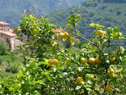 Citronnier en Corse. Source : http://data.abuledu.org/URI/532f08db-citronnier-en-corse