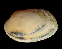 Clam. Source : http://data.abuledu.org/URI/505c6b2d-clam