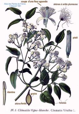 Clématite vigne blanche. Source : http://data.abuledu.org/URI/504e2b5e-clematite-vigne-blanche