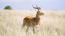 Cobe de Buffon (antilope) dans le Parc National Reine Elizabeth, en Ouganda.. Source : http://data.abuledu.org/URI/52d03e17-cobe-de-buffon-antilope-dans-le-parc-national-reine-elizabeth-en-ouganda-
