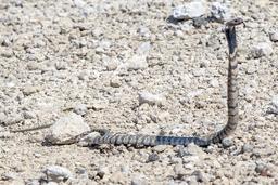Cobra zébré en Namibie. Source : http://data.abuledu.org/URI/55063e40-cobra-zebre-en-namibie