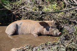 Cochon dans la boue. Source : http://data.abuledu.org/URI/53309b0e-cochon-dans-la-boue