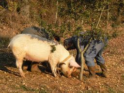 Cochon truffier dans le Lot. Source : http://data.abuledu.org/URI/53309fbc-cochon-truffier-dans-le-lot