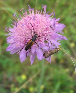 Coléoptères butinant une scabieuse des champs. Source : http://data.abuledu.org/URI/5050e05c-coleopteres-butinant-une-scabieuse-des-champs