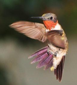 Colibri à gorge rubis. Source : http://data.abuledu.org/URI/527babba-colibri-a-gorge-rubis