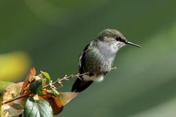 Colibri nain. Source : http://data.abuledu.org/URI/585025de-colibri-nain