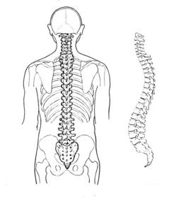 Colonne vertébrale de l'homme. Source : http://data.abuledu.org/URI/53b99028-colonne-vertebrale-de-l-homme