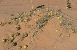 Coloquintes mûres dans le désert. Source : http://data.abuledu.org/URI/548a03d7-coloquintes-mures-dans-le-desert