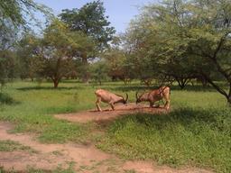 Combat d'Antilopes dans la Réserve de Bandia. Source : http://data.abuledu.org/URI/5486b032-combat-d-antilopes-dans-la-reserve-de-bandia