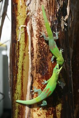 Combat de deux geckos sur un tronc de bananier. Source : http://data.abuledu.org/URI/52d062d8-combat-de-deux-geckos-sur-un-tronc-de-bananier