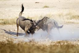 Combat de deux gnous mâles. Source : http://data.abuledu.org/URI/52d19d81-combat-de-deux-gnous-males